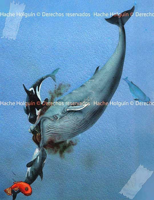 Ilustración científica de ballenas por Hache Holguín